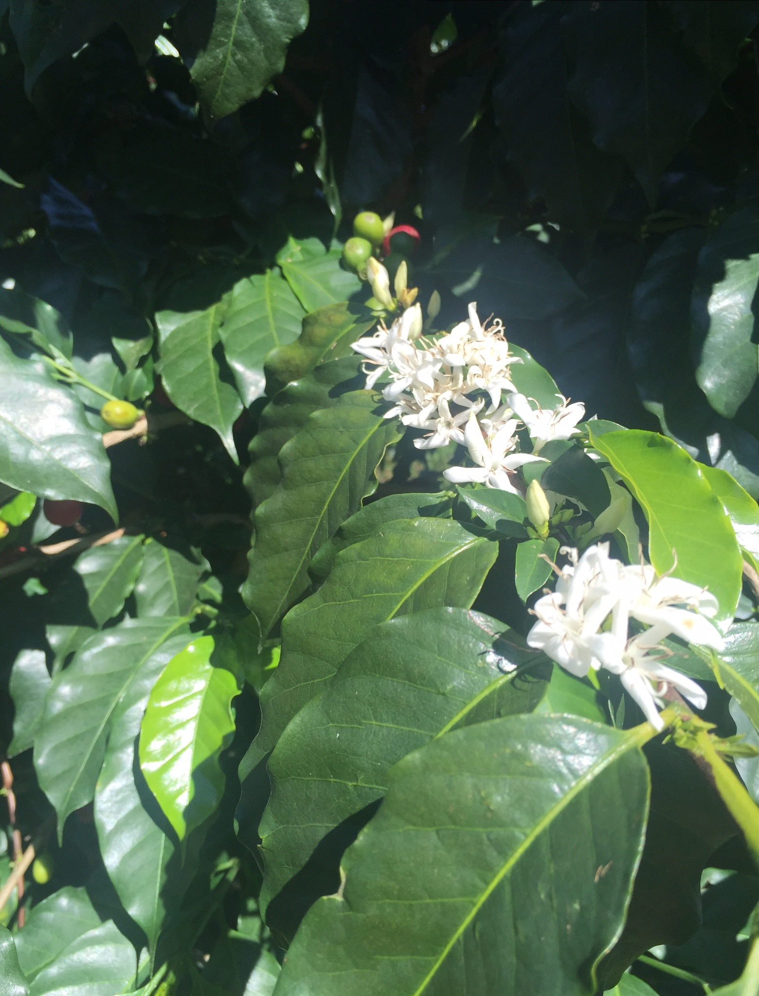 Flowering coffee plant