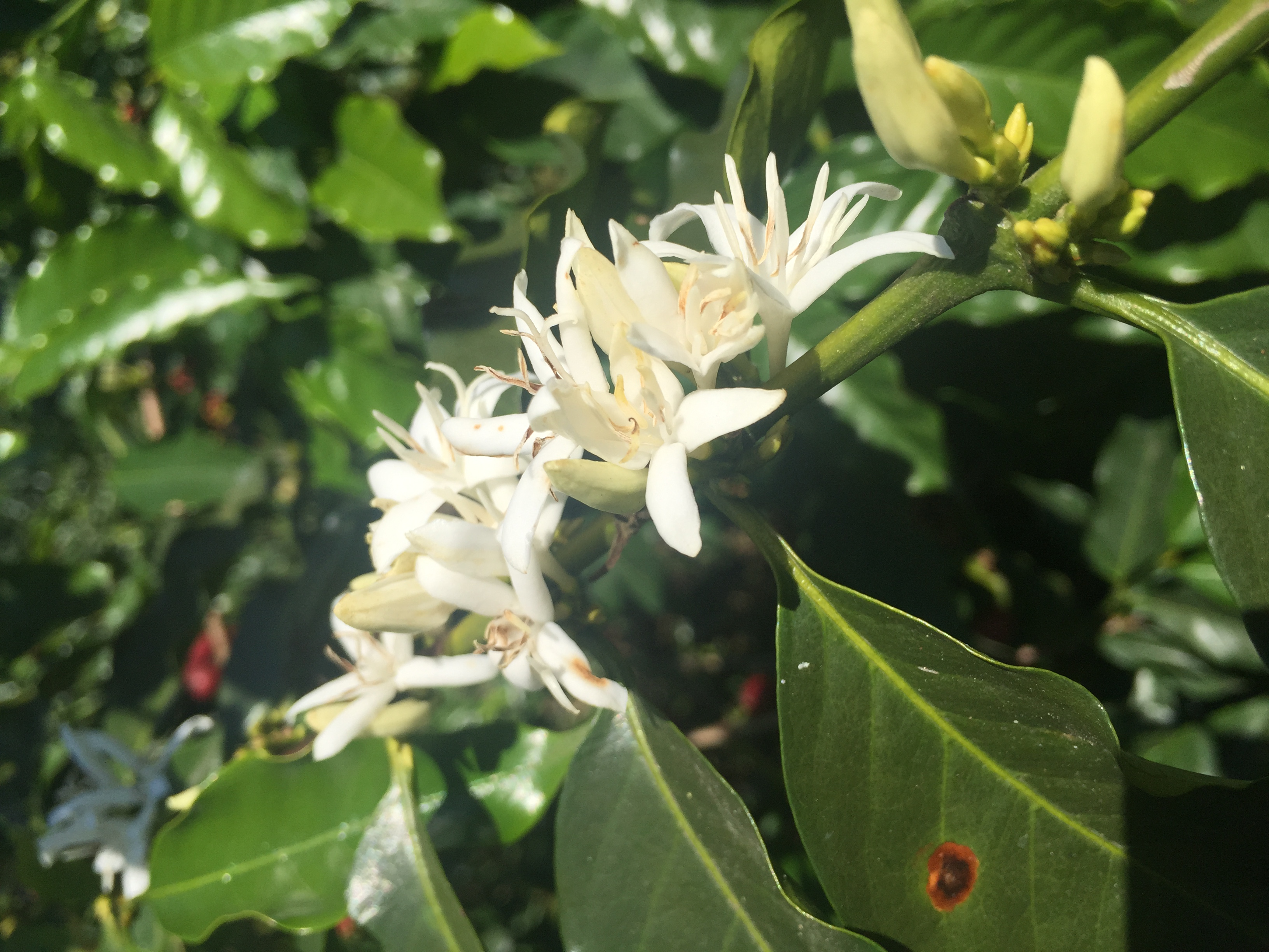 coffee bean flower
