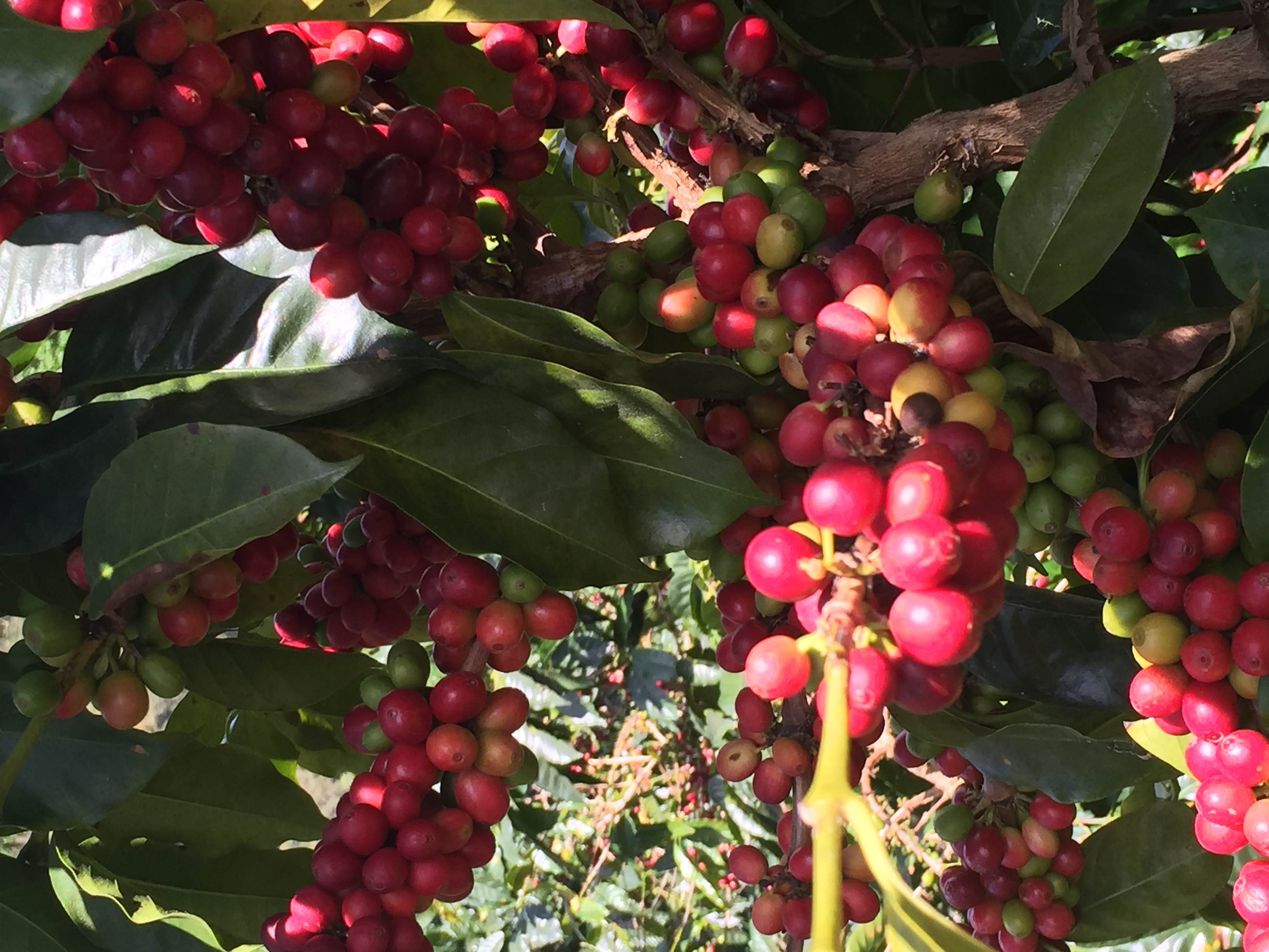 Coffee Beans before picking