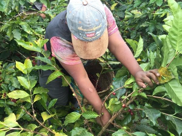 Woman picking coffee in Chiapas.